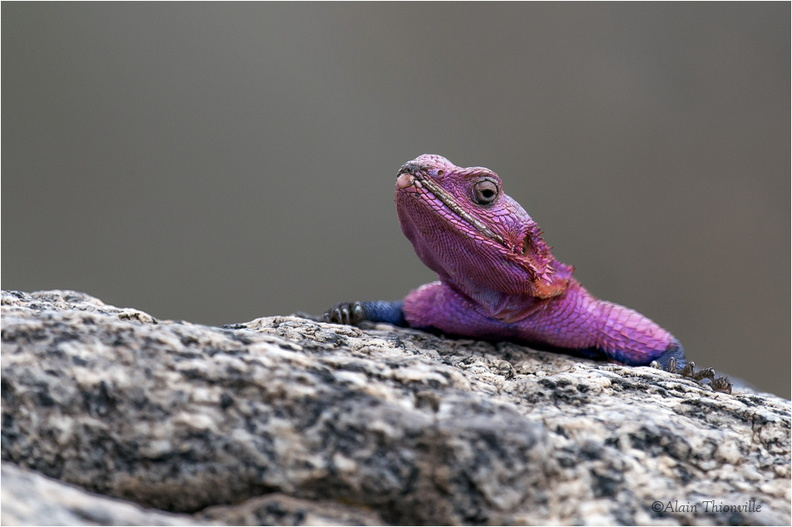Agama lizard (male)